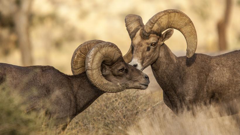 Arizona bighorn sheep application strategies 2021