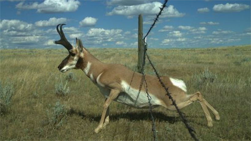Pronghorn leaping through fence