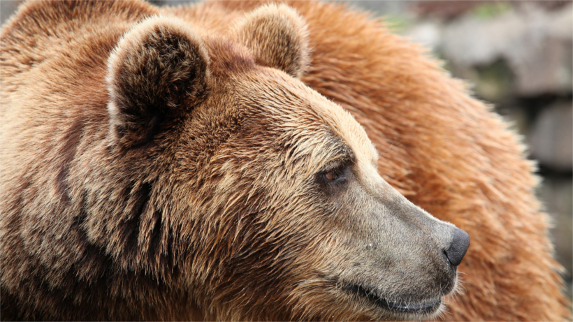 Close up of grizzly