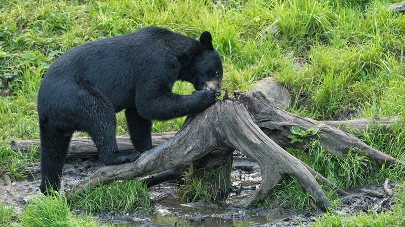 Bear eating bait