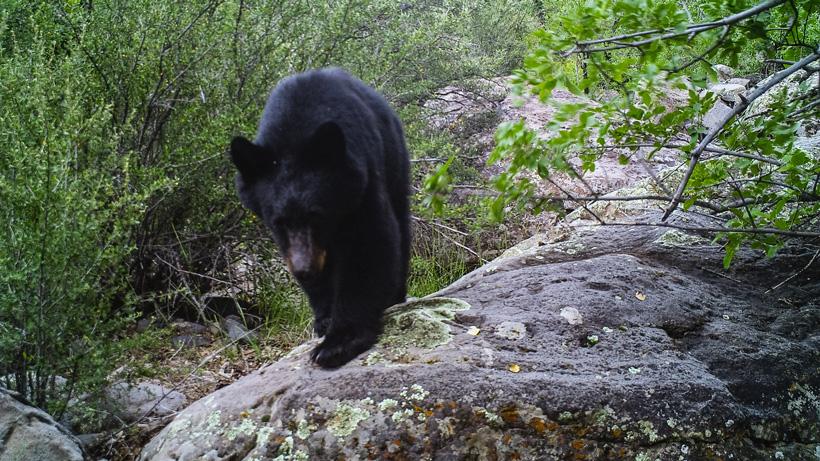 bear insight