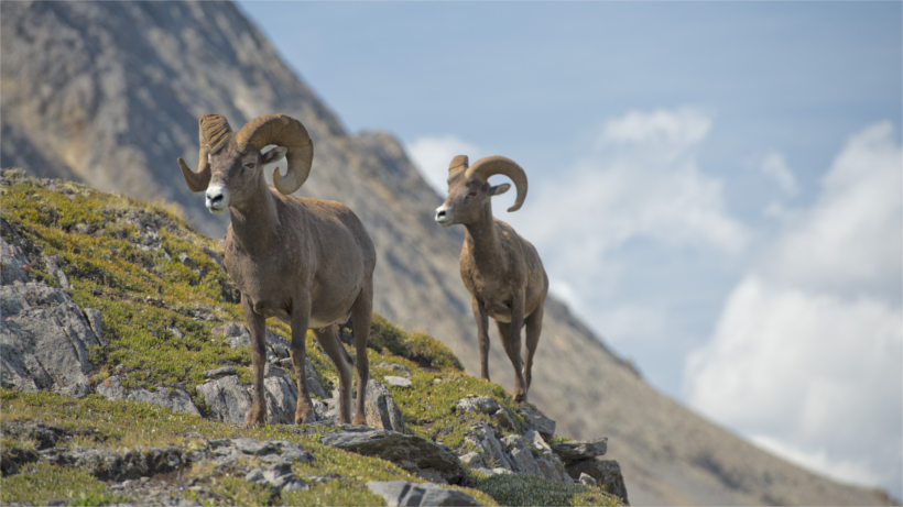 Two bighorn on mountainside