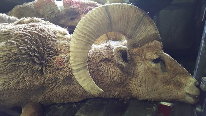 One of the euthanized sheep