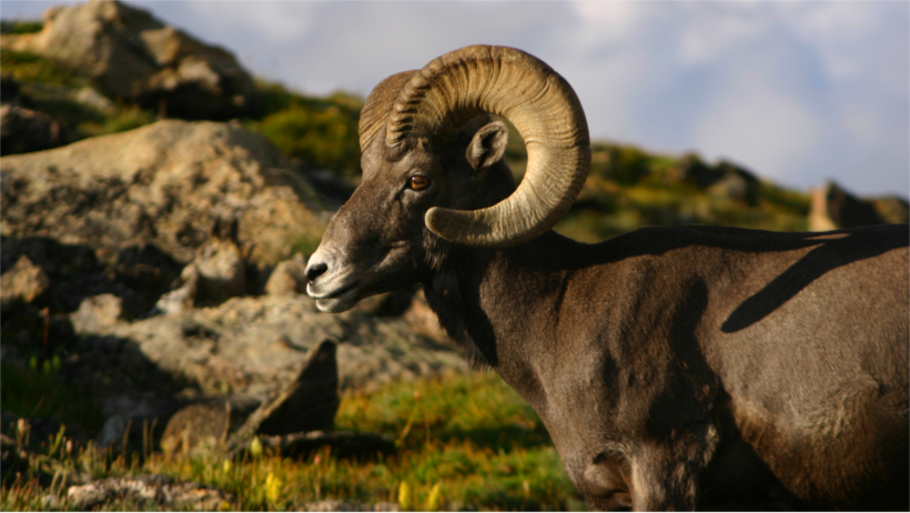 Bighorn on hillside