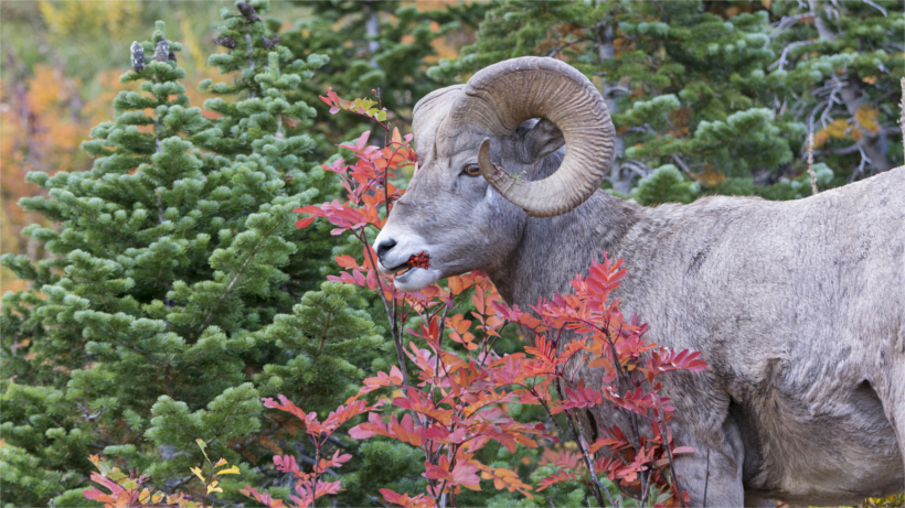 Bighorn sheep eating berries