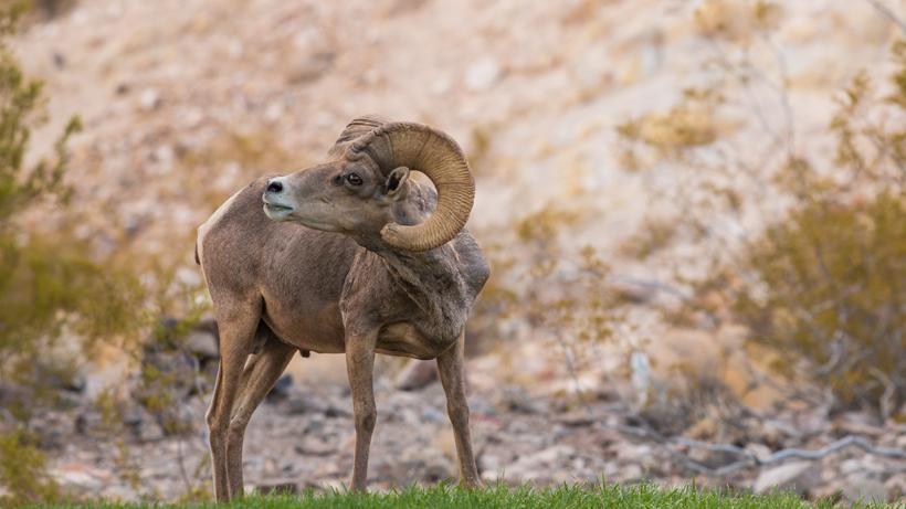 New study determines disease impact on desert bighorn sheep