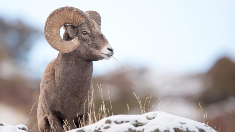 Pneumonia infiltrates Oregon's Burnt River bighorn sheep