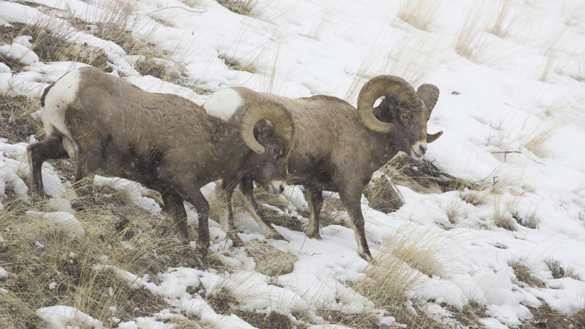 50 bighorn sheep relocated to Montana's Little Belt Mountains