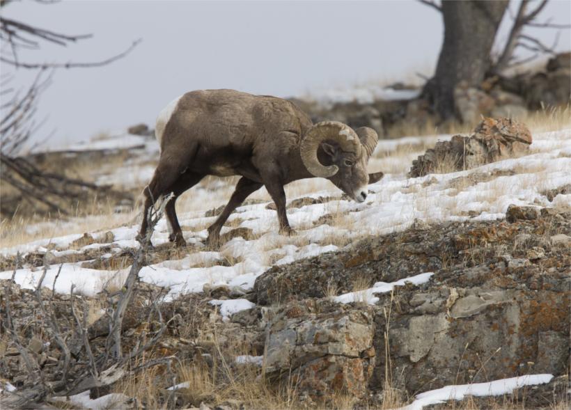 BC Bighorn