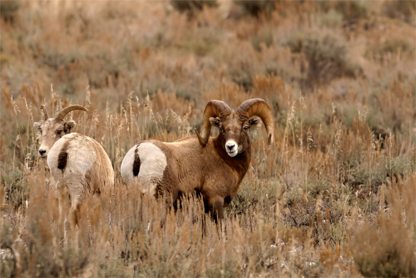 Hunters help montana remove diseased bighorns gohunt for Montana fish wildlife and parks drawing results