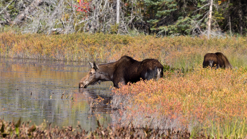 British Columbia Cow Moose