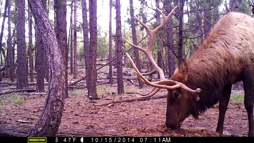 Bull elk on trail camera 2