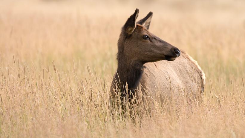 California elk get help during excessive drought
