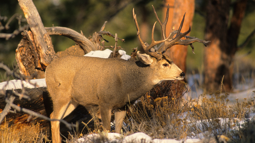Colorado mule deer