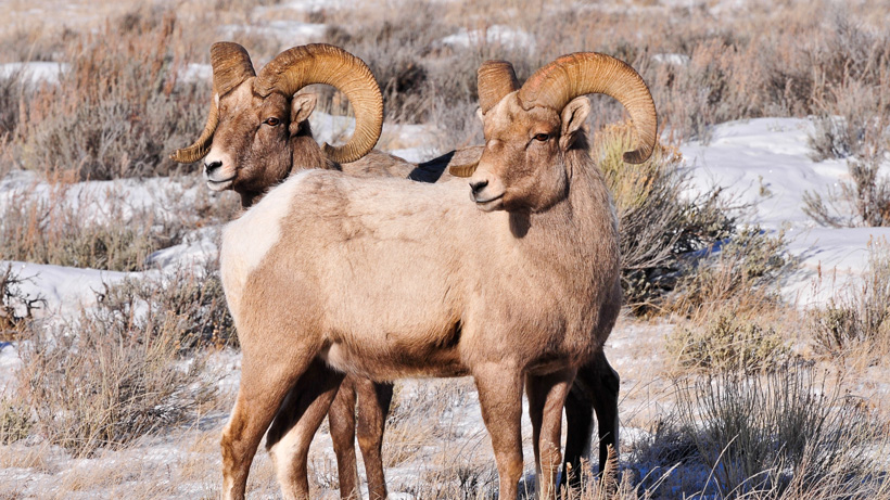 Vail, CO to install emergency fencing to help bighorn sheep