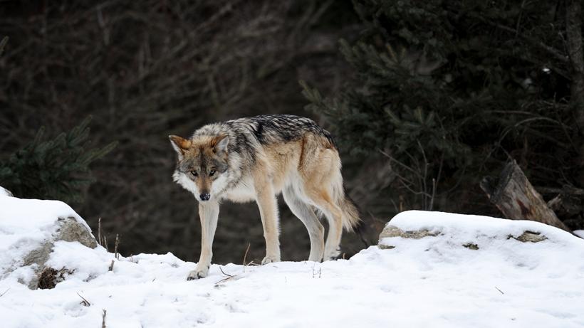 Colorado wolf ballot passes