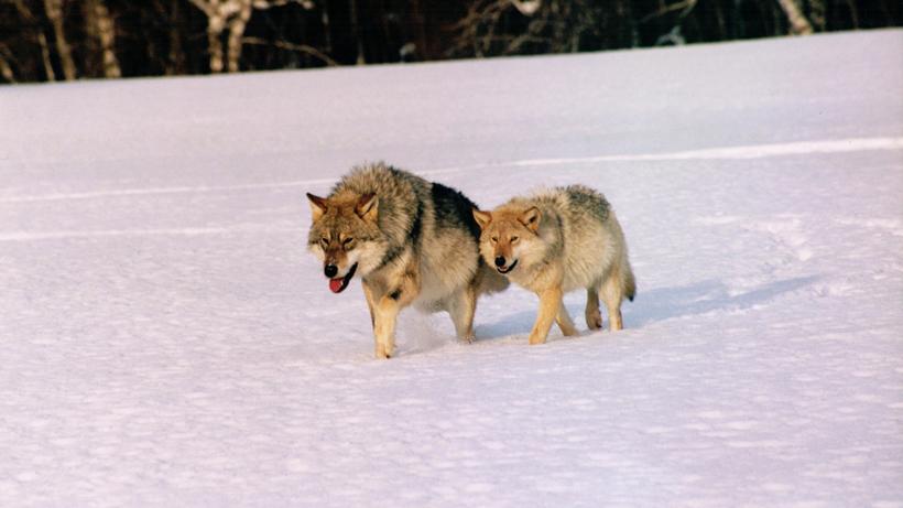 Colorado identifies potential breeding pair of wolves