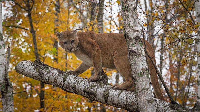 Utah Cougar