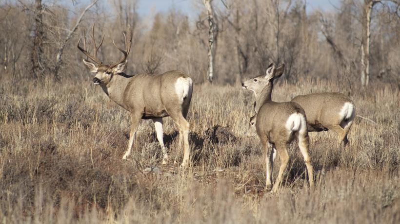 Wyoming mule deer receive more funding