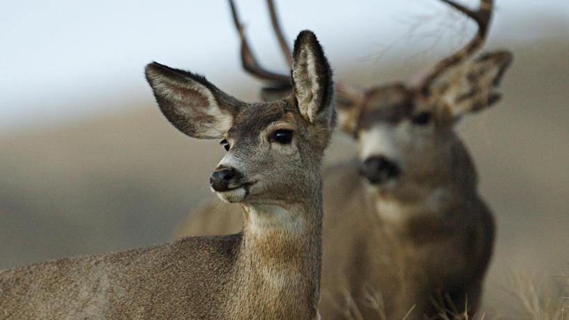 WGFD seeks lymph node samples from deer and elk this fall