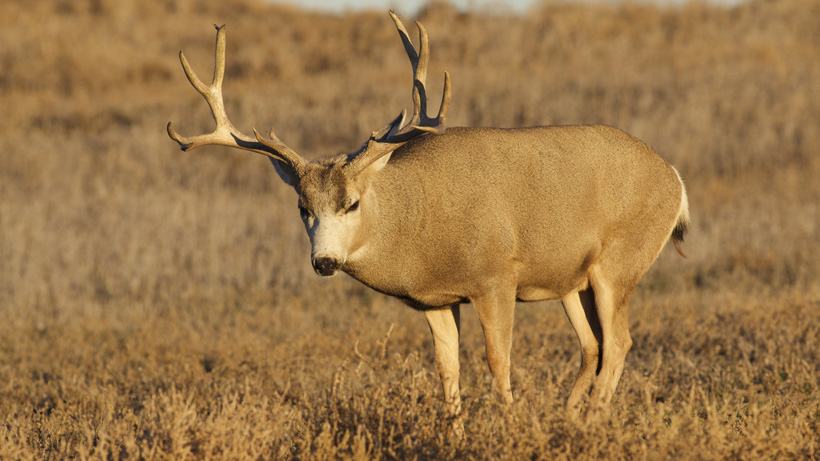 Montana FWP Collects CWD Test Samples During Opening Weekend