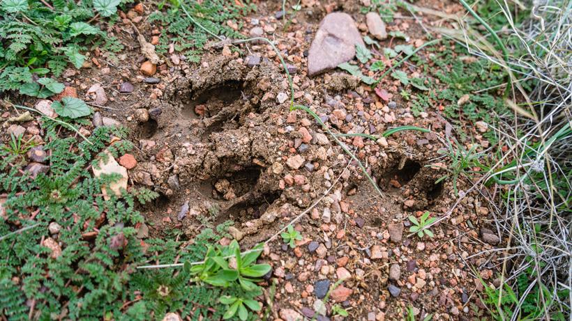 deer tracks spotted