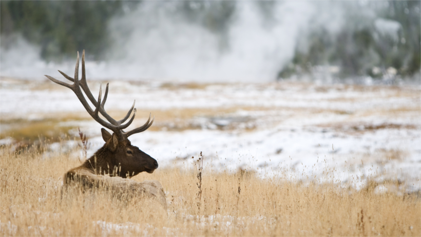 Elk lying in field
