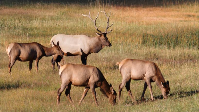 Four elk in field