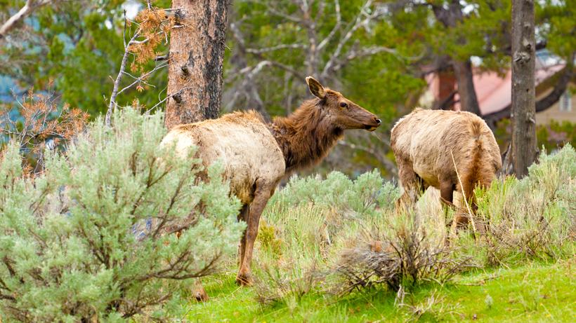 California asks public for help identifying cases of elk hoof disease