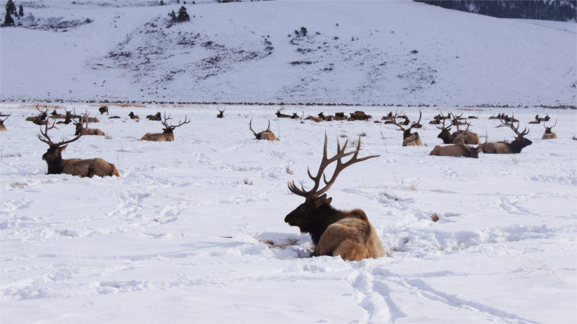 Herd of elk in snowy field