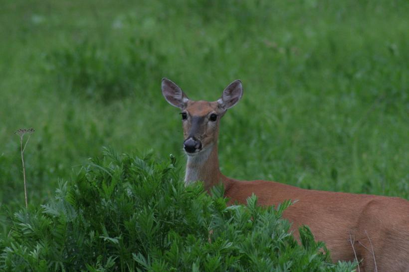 Summer whitetailed deer