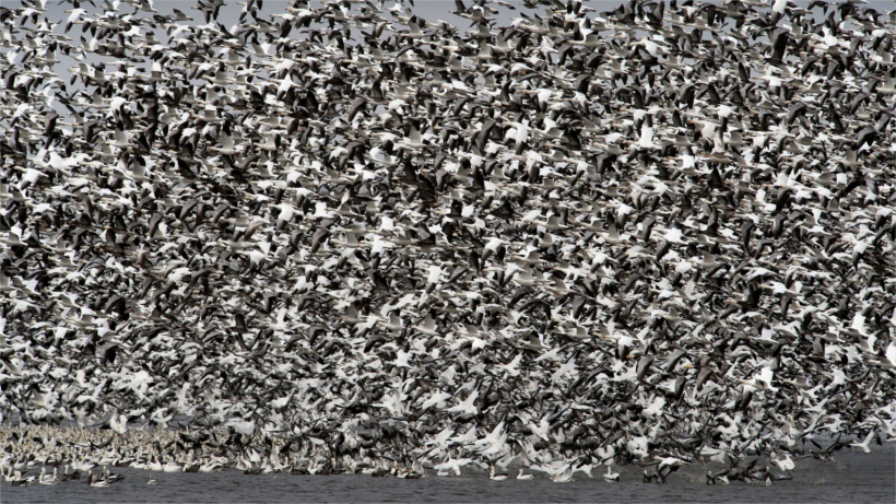 Hundreds of snow geese