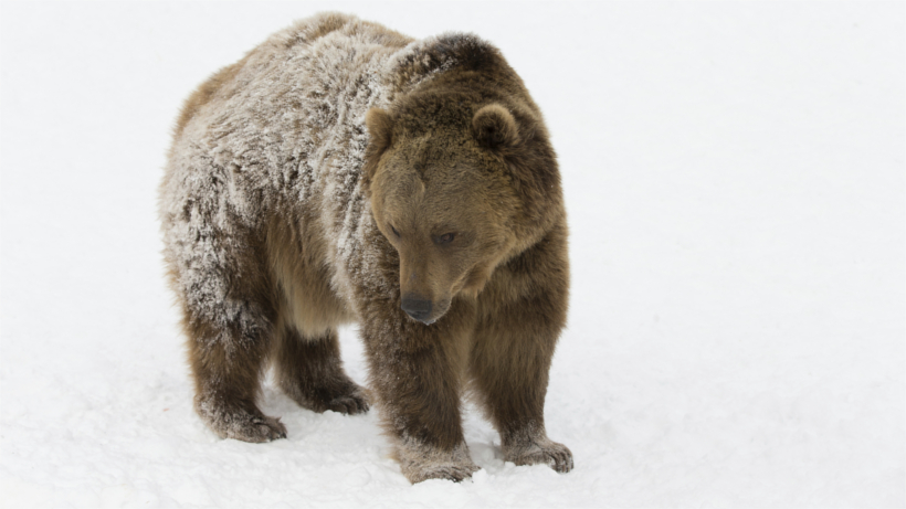Grizzly in snowfield