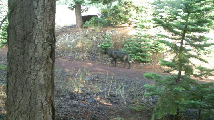 Gray wolf in California