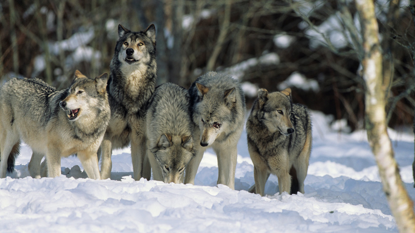 No more federal protections for gray wolves? | goHUNT