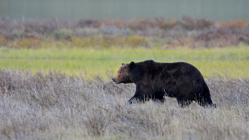 WGFD and FWS investigate two separate grizzly bear attacks