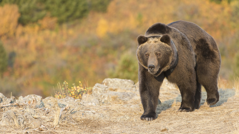 Government takes on active role in grizzly bear management on Rocky Mountain Front