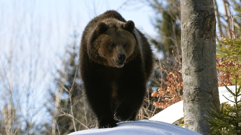 Montana changes grizzly bear management