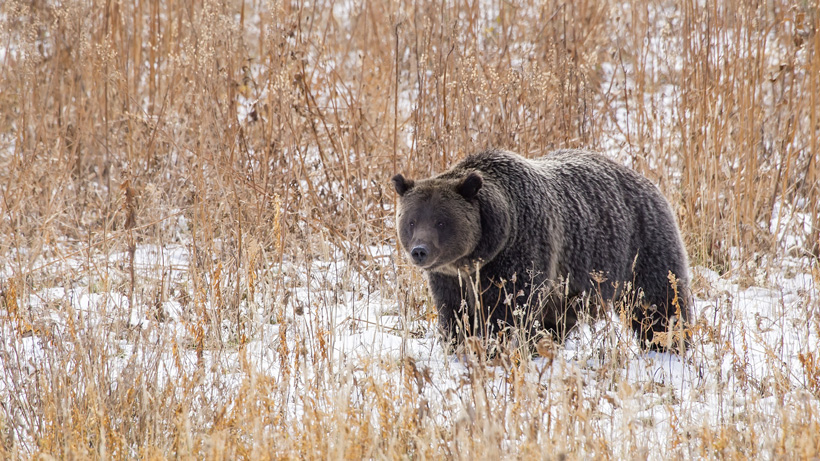 Researchers may change how grizzlies are counted in Greater Yellowstone