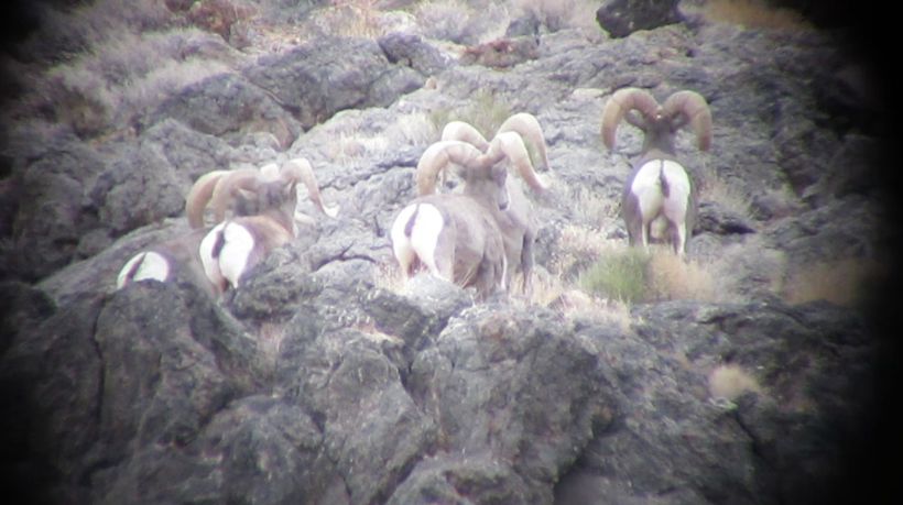 Group of Desert bighorn rams