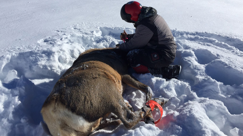 Gunnison basin elk capture