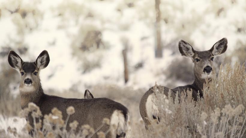 Idaho cuts antlerless mule deer tags in Southeast Region