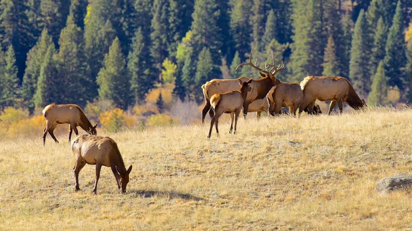 Idaho angers many over new elk depredation study