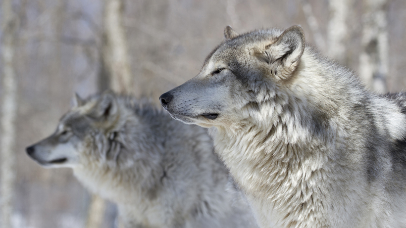 Idaho governor signs new law that could kill 90% of the state's wolves