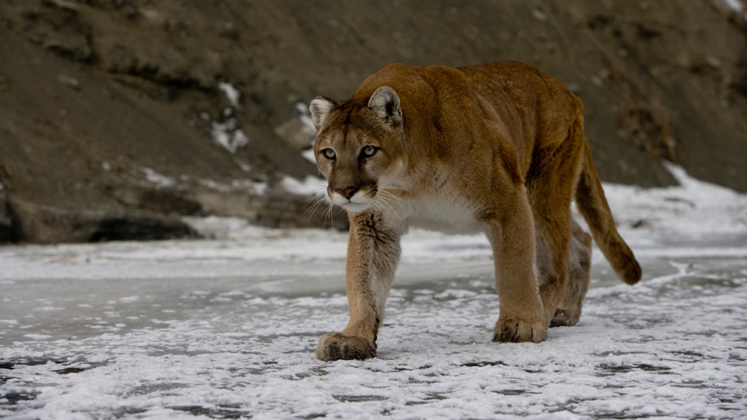 IDFG cautions residents about mountain lions