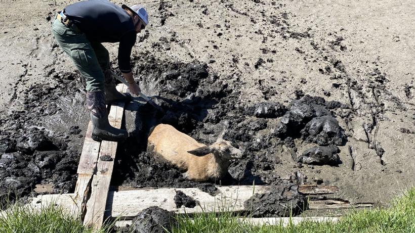Game Warden saving mule deer doe