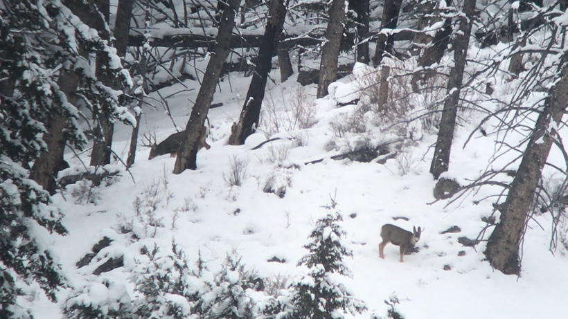 Mule deer spotted across the hillside