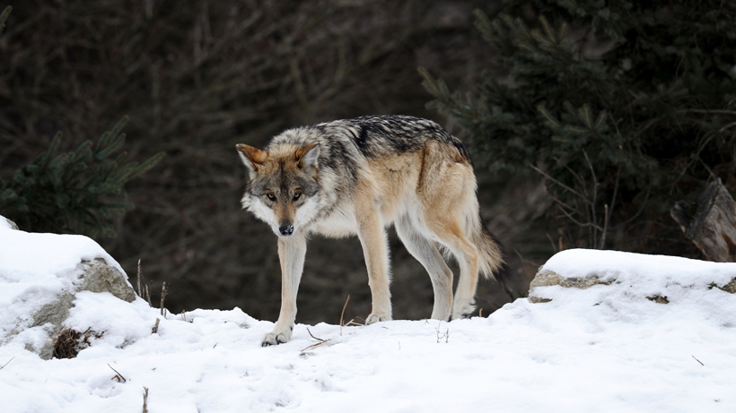 Idaho Senate passes bill to cut wolf population by about 90%