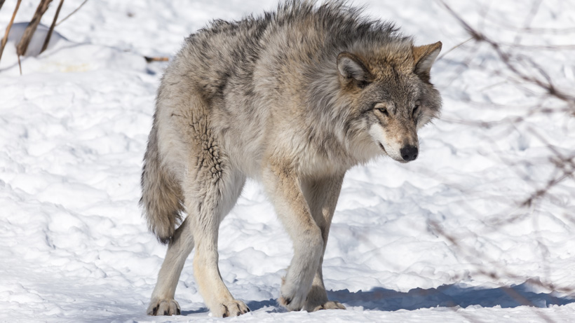 IDFG removes 17 wolves in Lolo elk zone