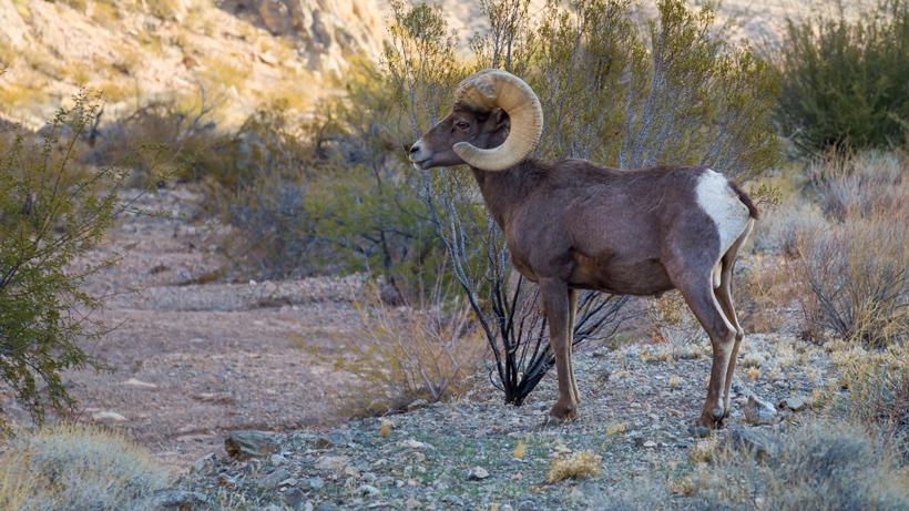 Joshua Tree trail closed for bighorn sheep